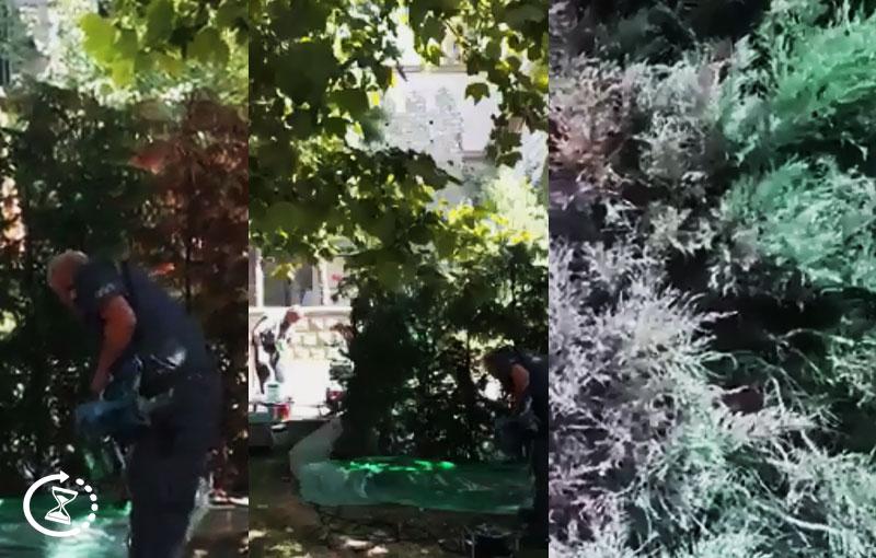 Xaçmazda icra hakimiyyəti baxımsız qalan ağacları rənglətdi (VİDEO)