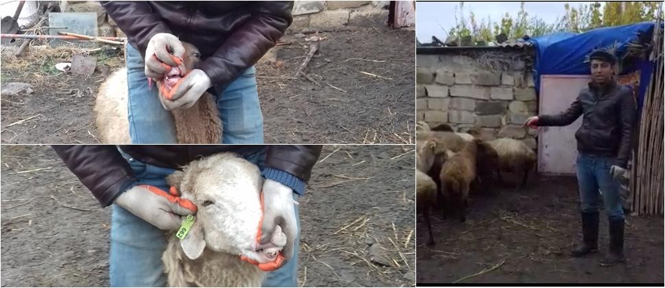 ƏƏSMN-in Kasıblara ölüvay heyvanlar verilməsinin pərdəarxası – VİDEO