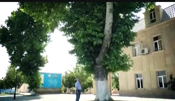 Horadizdə 100 yaşı olan çinar ağaclarını kəsiblər – FOTO-VIDEO