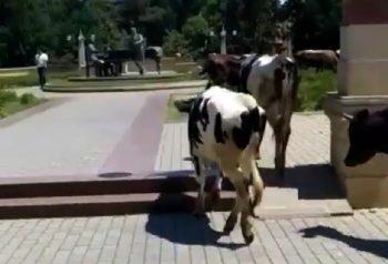 """İcra Hakimiyyətinin yanında inəklər otlayır – """"İstiqlal"""" parkında biabırçı mənzərə"""