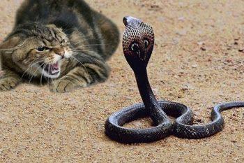 Hindistanda pişik sahibini zəhərli kobra ilanından qoruyub- VİDEO