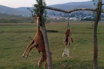 Azərbaycanda görünməmiş vəhşilik: At və balasını öldürüb, dirəkdən asdılar