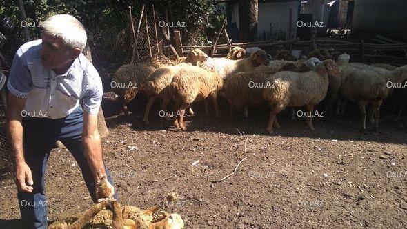Lənkəranda naməlum xəstəlik yayılıb: Xırdabuynuzlu heyvanlar kütləvi şəkildə tələf olur – FOTO