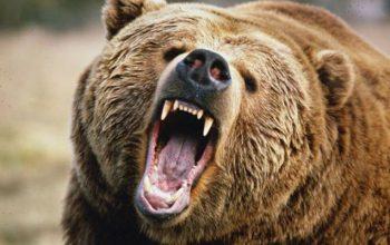 Rusiyada ayıları qırmaq istəyirlər